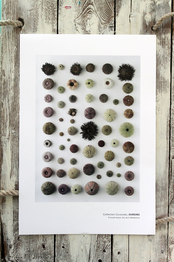 "Naturalist poster  SEA URCHINS - 13"" x 19"""