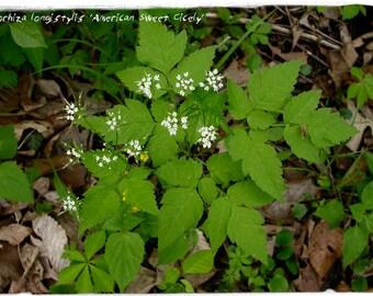 Osmorhiza longistylis 'American Sweet Cicely' 40+ SEEDS