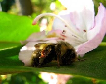 bee photography, bumblee photography, bumblebees, bumblebee art, insect photography, bee art, bees