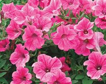 Petunia Seeds Rose of Heaven, Rare Flower, Variety of Rose and Pink Colored, 25 Seeds