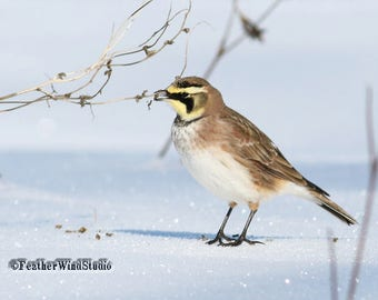 Horned Lark Print | Feeding Bird Photography | Grassland Tundra Wildlife | Cute Bird Wall Art | Kids Room Nature Decor | FeatherWindStudio