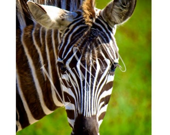 Zebra Color Pop Photograph