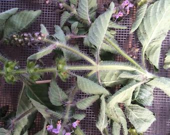 Tulsi Tincture, Ocimum sanctum- Holy Basil, organic herb