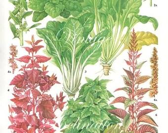 Vintage Vegetable SPINACH RED BEET kitchen decor wall hanging botanical illustration vintage art print 161