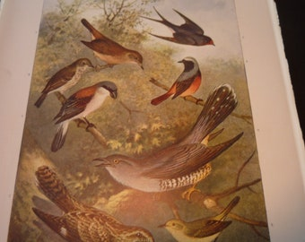 Birds 1904 vibrant color print Nightingale Swallow Cuckoo- Science Illustration - Print only or with Mat Ships fast