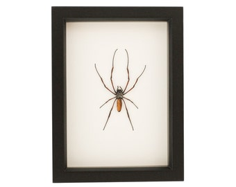 Real Framed Spider Insect Display