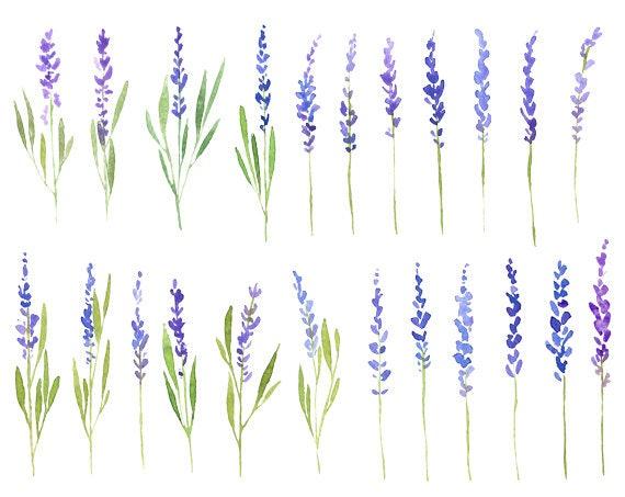 watercolor lavender flowers clip art watercolour floral rh etsy com Lavender Sprig Outline Lavender Sprig Arch Clip Art