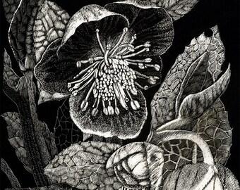 Art Card Blank of Hellebore from Scraperboard  original