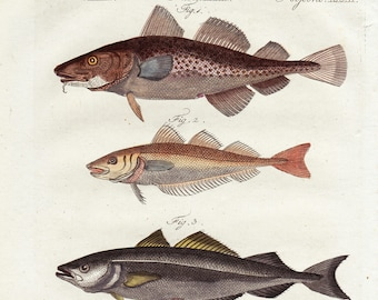 Antique Fish Bertuch Print - Cod, original vintage engraving plate  dated 1808