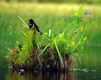 Red-winged Blackbird Photograph, Bird Photography, Home Decor, Wildlife Photography, Wildlife Print, Nature Photography, Blackbird Picture