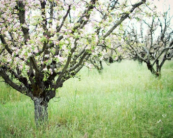 """Apple orchard photograph farmhouse decor green landscape large wall art fruit trees in bloom country rustic art """"Gravenstiens"""""""