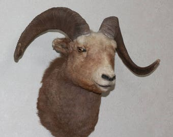 Snow Sheep - Taxidermy Head Shoulder Mount, Stuffed Animal For Sale - Siberian Bighorn Ram - ST3418