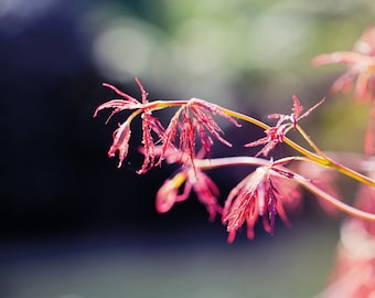 Red Leaves in the Sunshine: A6 Photography Art Print  (Nature, garden photography)