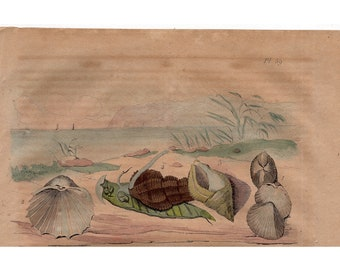 1835 SHELLS & SNAIL PRINT - exotic water life print rare original antique hand colored engraving - ocean beach fish sea marine