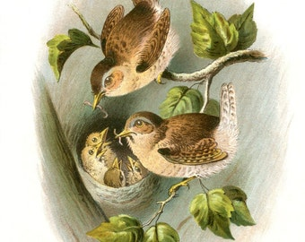 Vintage Image - Pair of WRENS feeding BABIES in NEST - Digital Instant Download - nature ephemera collage supply