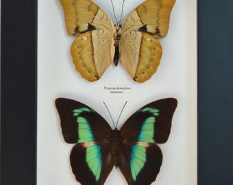 Amazing Butterfly double-sided Mimetic drawing at rest, imitating a dead leaf and a blue mirrored iridescent on the back lined