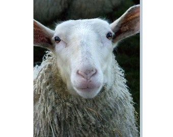 Looking Sheepish Greeting Card