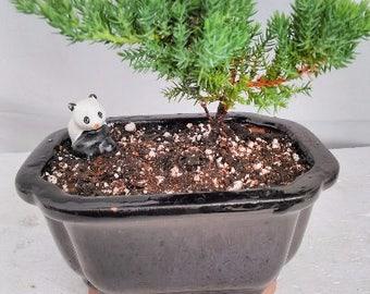 Juniper Bonsai-panda-with Ceramic Bonsai Pots (FREE SHIPPING)