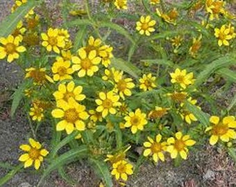 Marigold-Bur- Bidens Aurea- 50 Seeds
