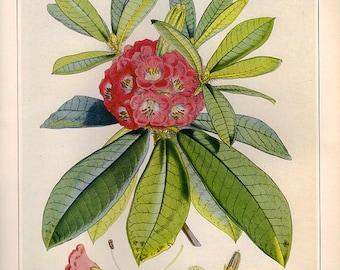 Vintage XLlarge BRISTLY RHODODENDRON Botanical Print 114 Antique Flower print, bookplate art print, flowers flower wall print wall art