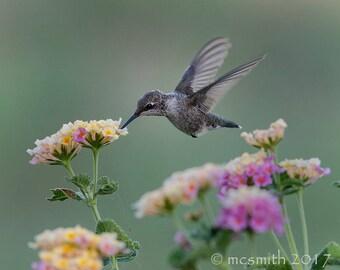 Hummingbird feeding in Lantana