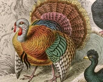1860's ANTIQUE TURKEY print, hand colored engraving,Crested Curassow,American Wild Turkey,vg condition,fine art,paper,aqua,beige,brown,gray