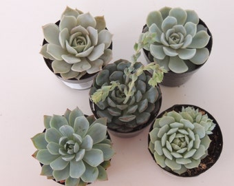 "Premium Party Favors - Collection of 4 Succulents - 2.5"""