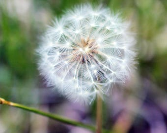 Dandelion Photo, Digital Download, Printable photo