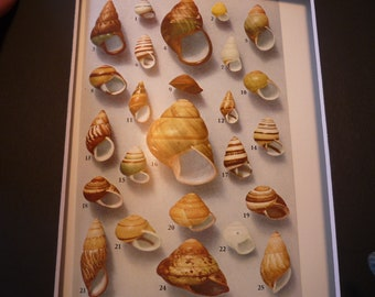 Shells of Philippine Tree Snails color lithograph original 1934 invertebrates  print or matted 8 by 10 in frame marine life science patterns
