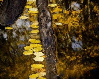 Aspens tree art, fall leaves photo, yellow leaves, fall reflection art, rustic home decor, cabin art, vertical wall art nature | Fallen