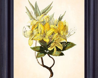 CLARK Botanical Print 8x10 Rhododendron Luteum Yellow Azalea Bold Antique Art Bright Colorful Flowers Summer Bouquet Room Wall Decor BF0503