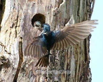 Tree Swallow Photo | Bird Photography | Dead Tree Wall Art | Cavity Nesting Bird | Nature Wall Decor | FeatherWindStudio | Blue Bird Print