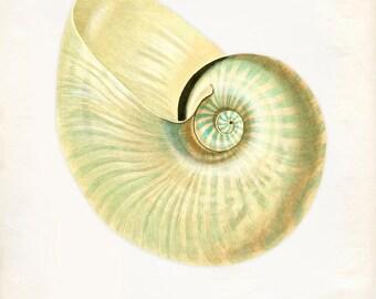 Vintage Sea Shell Print 8x10 P208