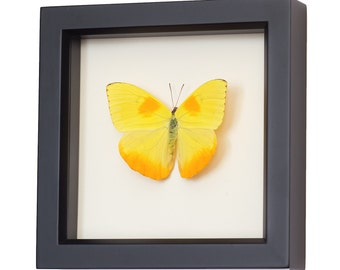 Real Butterfly Decor Framed display with Sulphur Insect