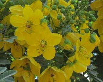 Cassia Leptophylla (gold medallion tree) .. 25 seeds