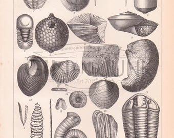 Antique Geology Print, Fossil Lithograph, Scientific Illustration, Original Antique Print, Vintage Science Print, Shells and Fossils.