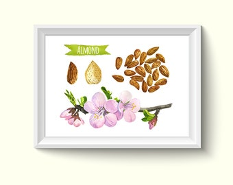 Almond Herbs Plants Watercolour Painting Drawing Art Print N214