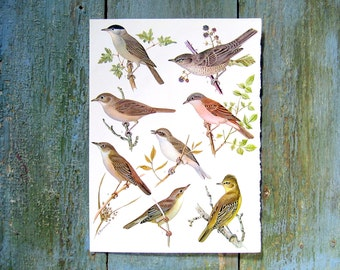 Bird Print - Aquatic Warbler, Sedge Warbler, Great Reed Warbler, Black Cap - 1968 Vintage Print - from Encyclopedia