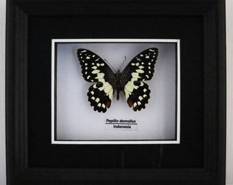 Papilio demoleus (Lime Butterfly) Taxidermy Butterfly in Matted Shadow Box Frame - Wall Decoration