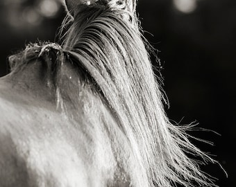 Horse Photography, black and white horse photography, fine art equine photography, Horse Poster, Horse Picture, horse art, mane backlighting