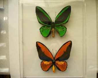 Bird Wing Butterfly Combination