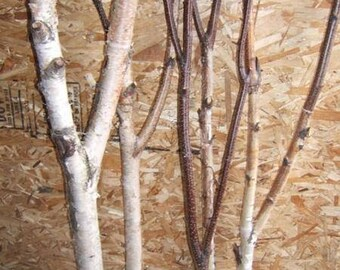 Birch Forked Limbs    5-  3' to 4' tall