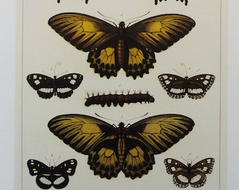 Modern Print 'Butterflies from the Malay Archipelago and New Guinea to Australia'