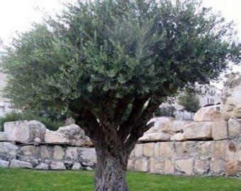 10 Olive Tree Seeds, Olea europaea