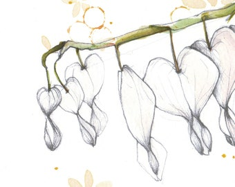 Coeurs de Marie blanches • Illustration