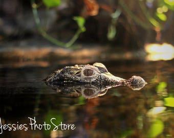 Waiting Alligator Canvas Photograph Size - A2, A3 + A4.