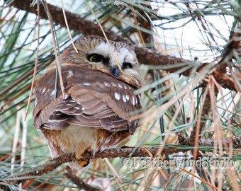 Northern Saw Whet Owl Photo | Bird Decor | Owl In Pine Tree Art | Nature Photography | Hotel Wall Lobby Art | Restaurant Decor | Owl Print