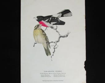 Vintage Rose-Breasted Grosbeak Bird Print, National Association of Audubon Societies