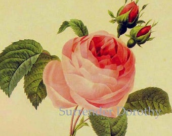 Pink Rose Rosa Centifolia Vintage Flower Redoute Botanical Lithograph Poster Print To Frame 80