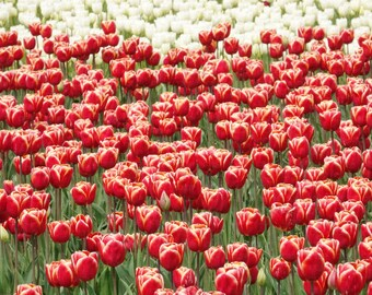 Skagit Valley Tulip Festival 2018 Red Tulip Field White Tulip Background Skagit Valley Festival Washington Beautiful Colorful Flowers Spring